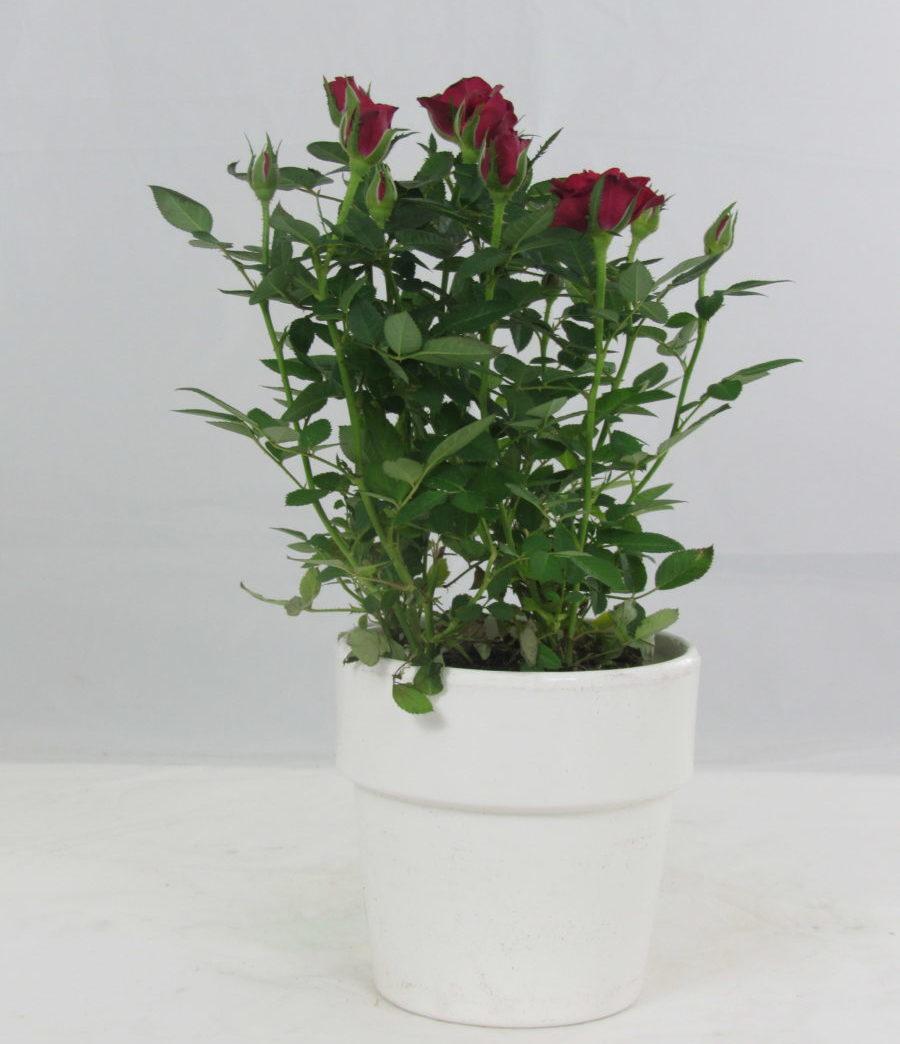 Roselline in pianta vaso 10 5 for Roselline in vaso