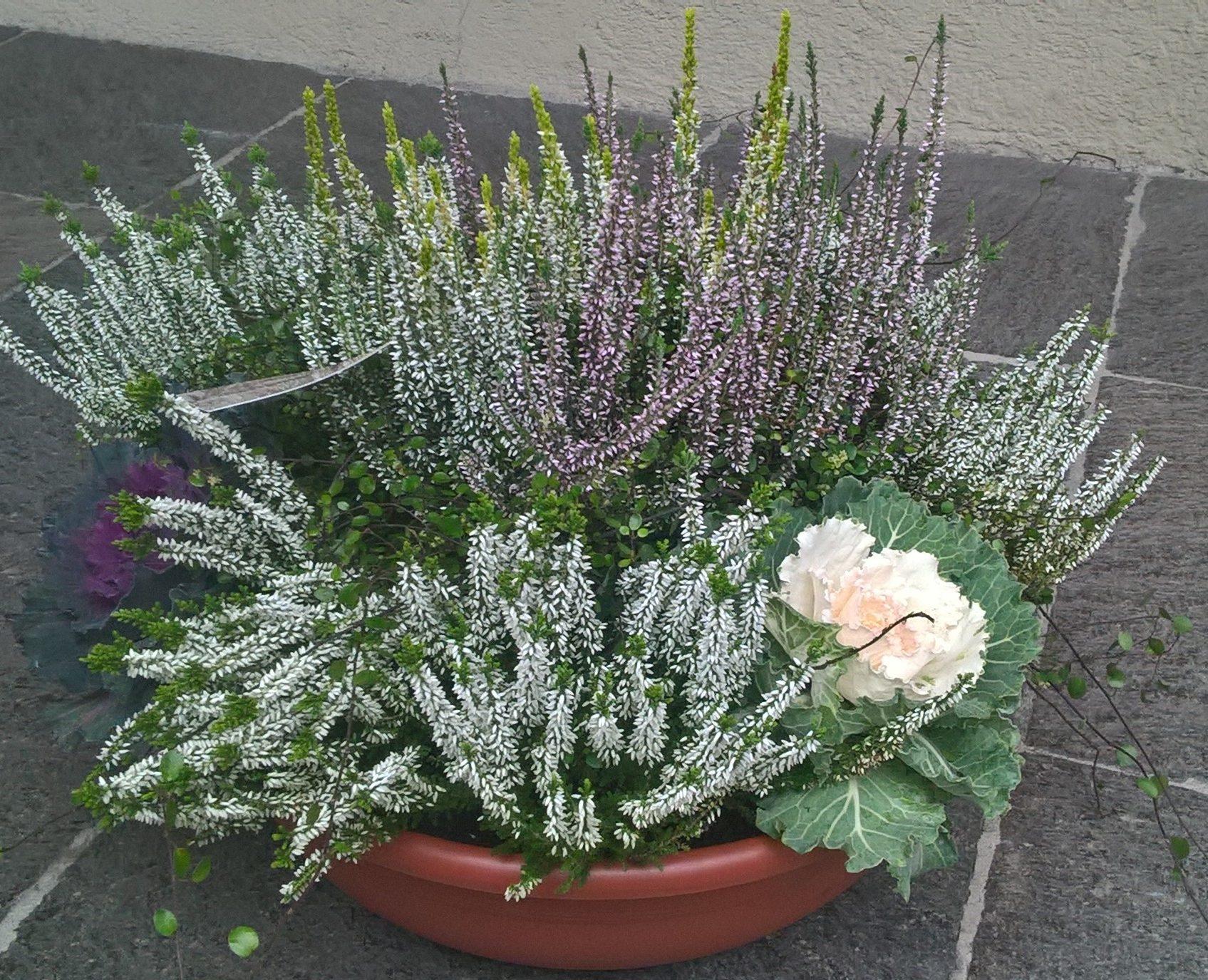 Piante invernali piante invernali da esterno u alcuni for Piante da esterno invernali